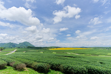 Landscape view of green tea plant field. It is at Singha part plantation in Chiang Rai, Thailand, Southeast Asia. Mountain and cloudy sky is in background. Travel landscape in Asia concept.
