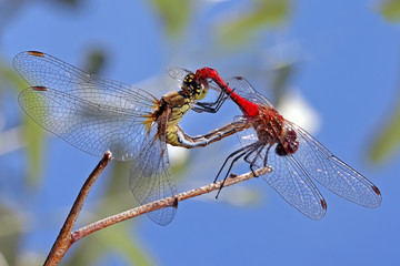 Two dragonflies male and female interlocking sitting on a tree branch.
