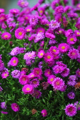Purple pink rice button aster flowers with yellow middle in garden.