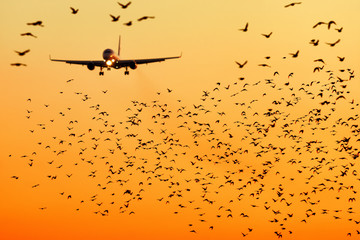Printed roller blinds Bird modern passenger jet engine aircraft landing to airport runway at dusk on background with huge bunch of birds dangerously crossing glideslope on foreground nature transportation birds strike close