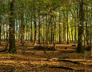 Autumn forest at morning light. Location: Germany, North Rhine-Westphalia, Hoxfeld.