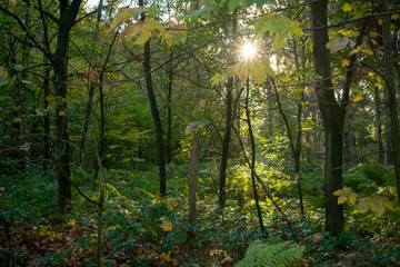 Forest in autumn at morning light with lens flare. Location: Germany, North Rhine-Westphalia, Hoxfeld.