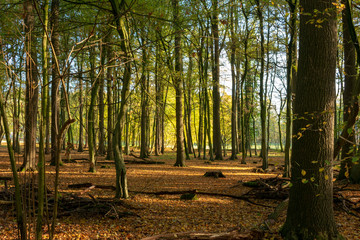 Forest in the autumn at morning light. Location: Germany, North Rhine-Westphalia, Hoxfeld.