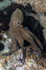 Common octopus, Gemeiner Krake (Octopus vulgaris). Underwater in open