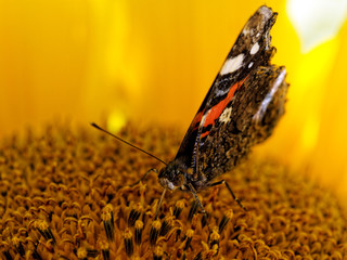 The red admiral or previously, the red admirable butterfly