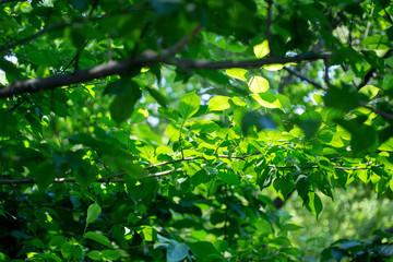 初夏の梅の葉
