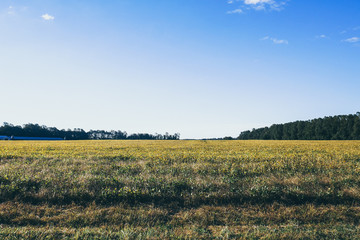 green yellow field with blue sky