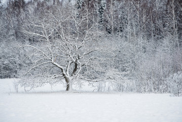 An old tree in the snow-covered forest on a cloudy winter day, Latvia