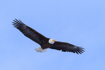 American Bald Eagle in Flight Against a Clear Blue Sky