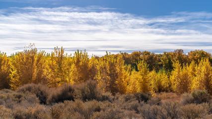 Autumn trees in Northern Nevada