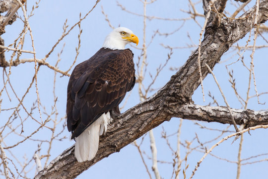 American Bald Eagle Sitting in a Tree Against a Clear Blue Sky