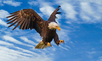 Photo sur Plexiglas Aigle Bald eagle on the attack