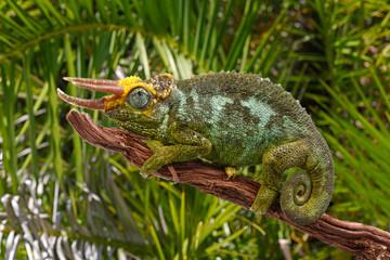 Dreihornchamäleon (Trioceros jacksonii merumontanus) - Jackson's chameleon