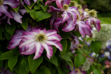Isolated Perspective of  Blooming Clematis Flowers, Vibrant Pink and White Petals, Deep Yellow White Pistils/Stamen/Centers, Green Leaves, Daytime