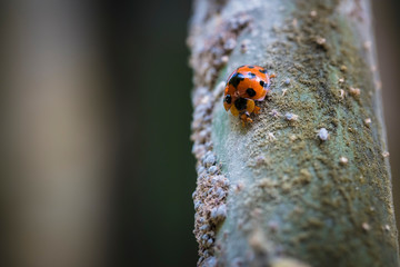 A seven-spot ladybug and a group of locusts on bamboo
