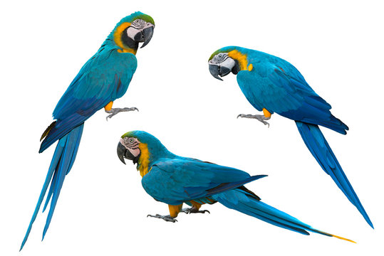 Blue and gold macaw isolated on white background
