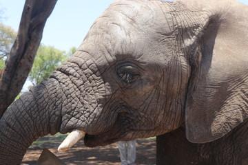 Zambian Elephant