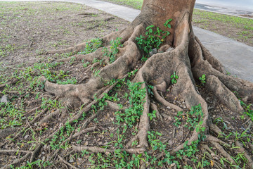 close up taproot of old giant tree in park