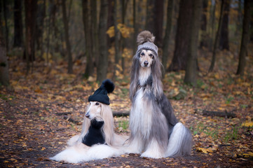 Dogs, Two funny, very cute Afghan hounds hats and scarves on the background of the forest, women of fashion, beauty. Concept clothes, fashion for dogs