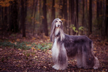 Dog, gorgeous Afghan hound, full-length portrait, against the background of the autumn forest, space for text , toned red