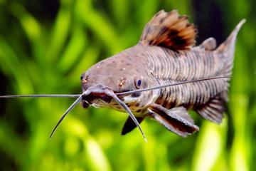 Megalechis thoracata catfish