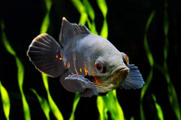 Black tiger Oscar fish. Astronotus ocellatus.