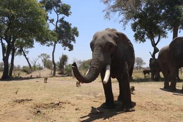 Zambezi Elephant
