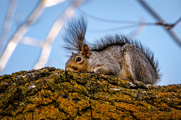 Gray squirrel resting on a black walnut branch. Spokane, Washington, USA
