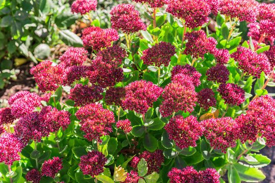 Bright autumn floral natural background with blooming pink flowers sedum (stonecrop) on a flowerbed in the garden. Succulent plant and herbal medicine, traditional medicine. Indian summer. Sunny day.