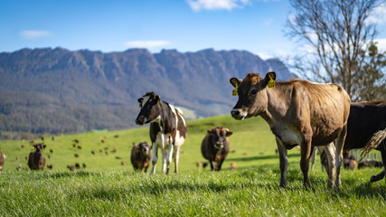 Dairy Cow in the Hills