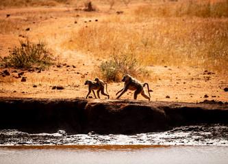 baboon family moving in hostile environment
