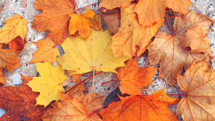 autumn maple leaf on concrete background / bright autumn background photo in full swing