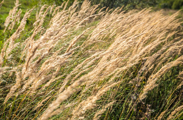 Field golden ears dry grass on a windy sunny summer day