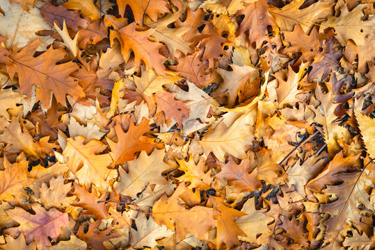 Brown discolored oak leaves fallen on the forest floor