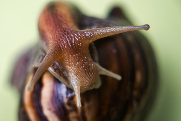 Macro photo of a mustache and eye slippery brown snail Achatina. large portrait of molusk. close-up of the antennae of the snail.