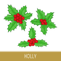 Holly, ilex. Plant. Leaves, berry. Sketch. Color