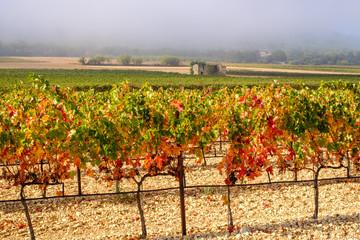 Les vignobles en automne, les feuilles vertes, jaunes, rouges. Lever de soleil, brume de matin. Provence, France.