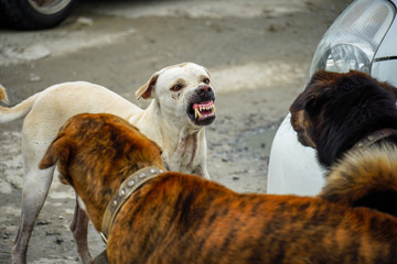 La pose en embrasure Lama dogs are fighting with two dogs