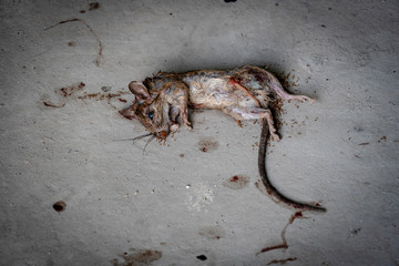 Dead rat with bloody wound on floor.