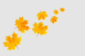 Autumn maple leaves flying away. Yellow leaf on grey background. weather concept