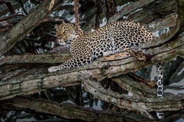 Leopard (Panthera pardus) on a tree, Sabie Sand game reserve, Singita, South Africa