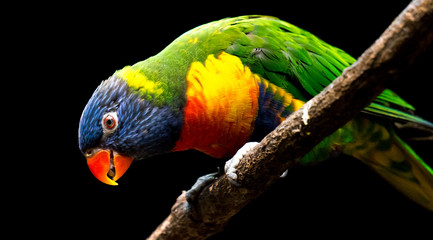 Foto op Canvas Papegaai colorful parrot on a branch