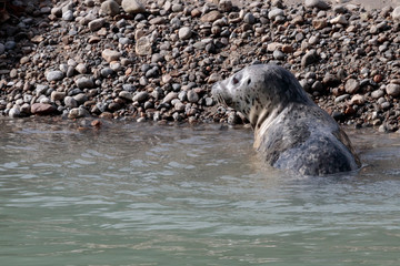 Seal on the beach in the Nahku bay near Skagway Alaska