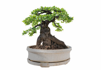 Fototapeten Bonsai Bonsai tree isolated on white background. Its shrub is grown in a pot or ornamental tree in the garden.