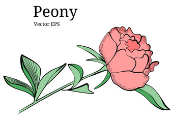 Isolated peony flower design in vector