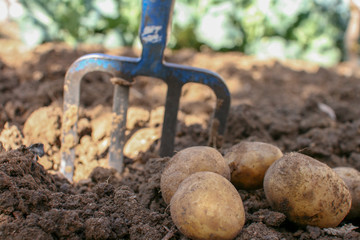 Potato harvest digged from the soil
