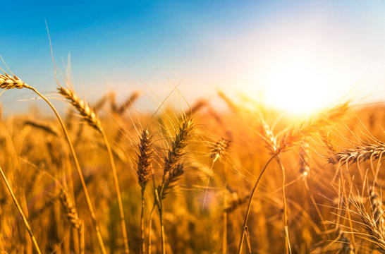 wheat harvest, wheat field on the background of blue sky in the sun.  agriculture.