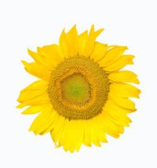 Sunflower on isolated white background