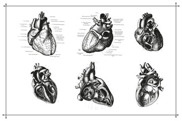 Authentic Vintage Anatomy Heart Engraving Back and White Illustration