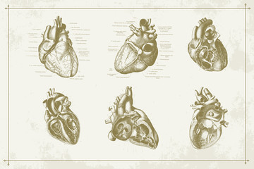 Authentic Vintage Anatomy Heart Engraving Illustration